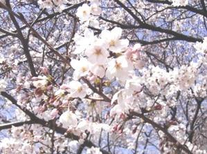 Cherry002_2