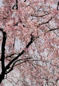 cherry_asahi