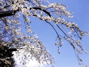 cherry_sky
