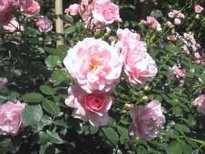 minimini_roses