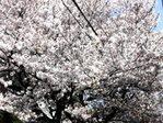 nakano_cherry001