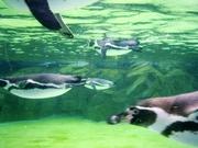 penguin_swiming