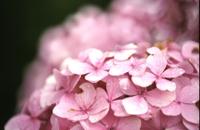 Pink_ajisai
