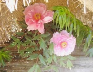 Pink_botan