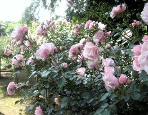 sun_roses